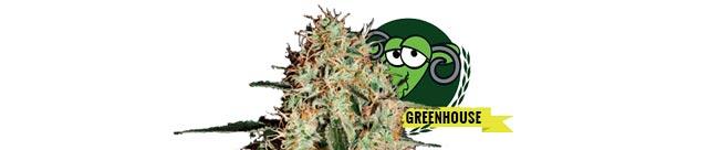 Arjan's Haze #1 (Green House Seeds)