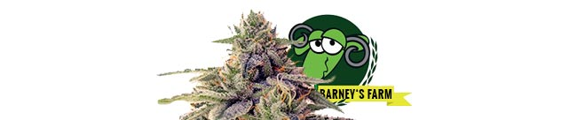 Shiskaberry (Barney's Farm)