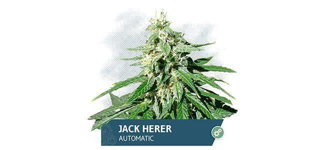 Jack Herer (Zamnesia Seeds)