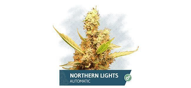 Northern Lights Automatic (Zamnesia Seeds)
