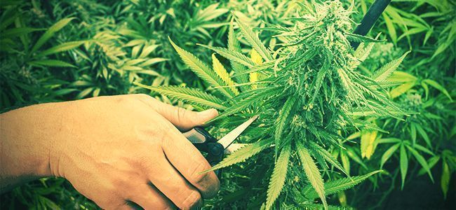 TAILLE Cannabis
