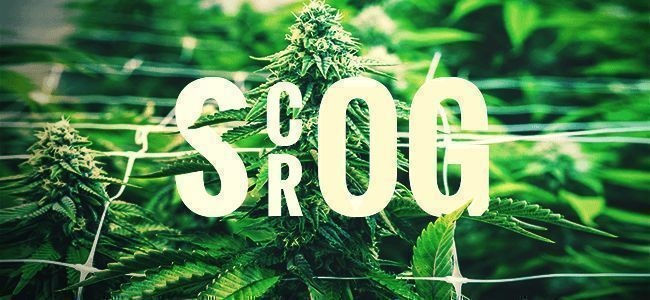 SCROG—SCREEN OF GREEN