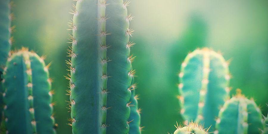 Trop De Soleil Est Mauvais Pour Un Cactus San Pedro