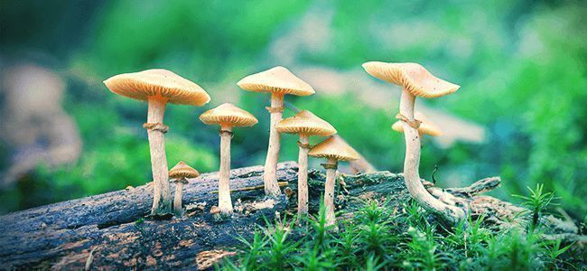 Champignons Psilocybe