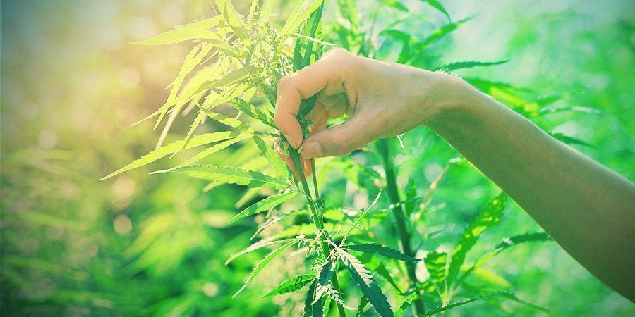Sélectionner Les Plants Cannabis Pour La Reproduction
