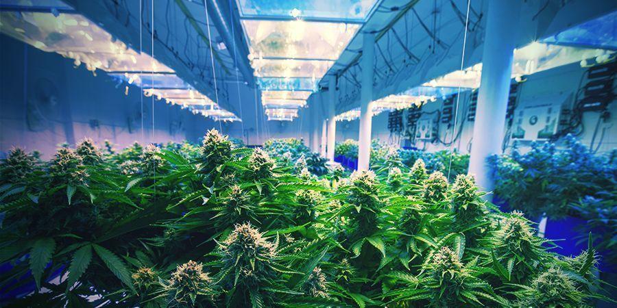 Comment Stabiliser Votre Variété De Cannabis