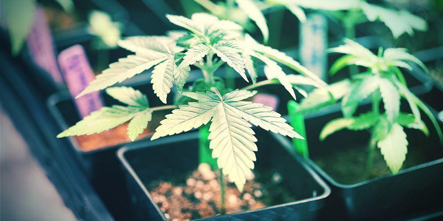 Sélection À Petite Échelle Cannabis