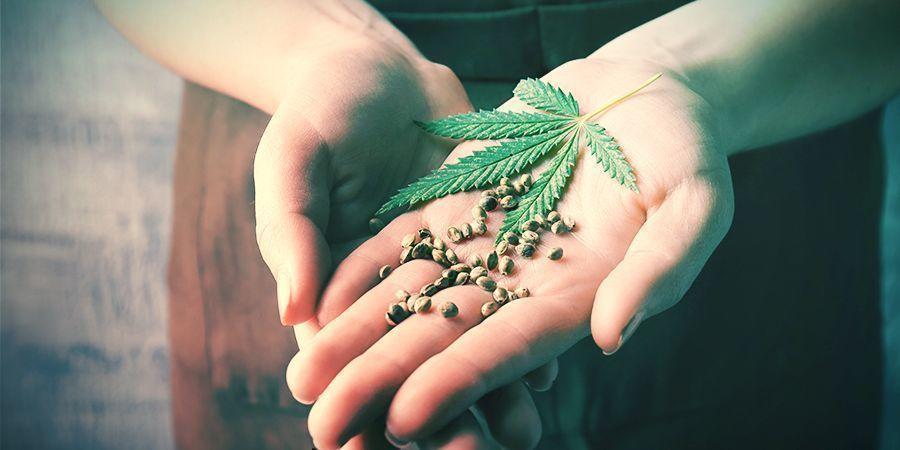 Avantages Du Rétrocroisement Plants De Cannabis
