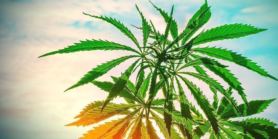 températures chaudes Plantes de cannabis