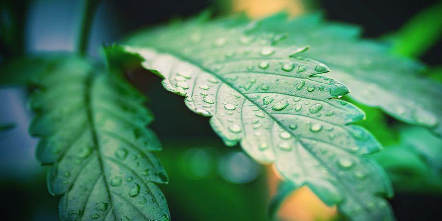 arroser les plantes de cannabis