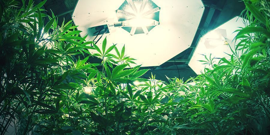 Plantes De Cannabis Autofloraison