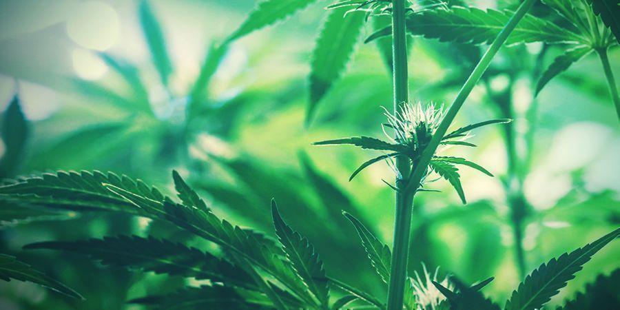 jeunes tètes de cannabis