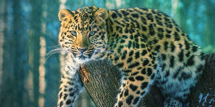 Jaguars Qui Aiment Se Défoncer - Ayahuasca (Banisteriopsis Caapi)