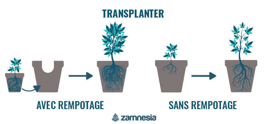 Transplanter Plant De Cannabis