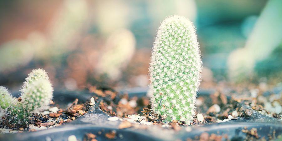 Rempoter Vos Boutures De Cactus Sèches Et Endurcies