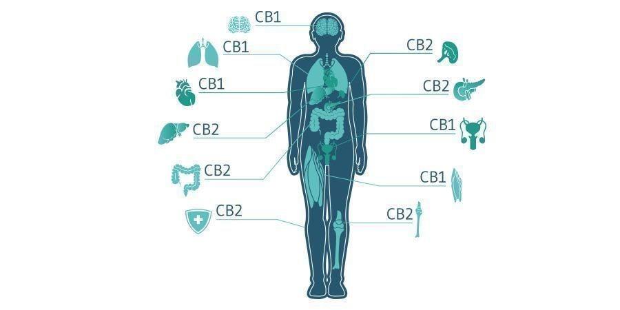 Le CBC Jouera-t-il Un Rôle Important Dans Les Traitements Au Cannabis ?