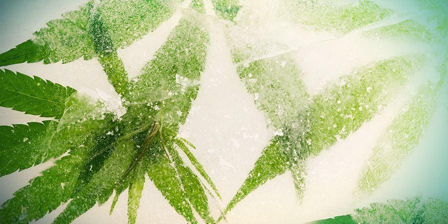 Surgélation Du Cannabis
