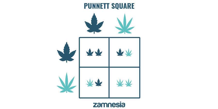 UNDERSTANDING DOMINANT AND RECESSIVE CANNABIS GENETICS