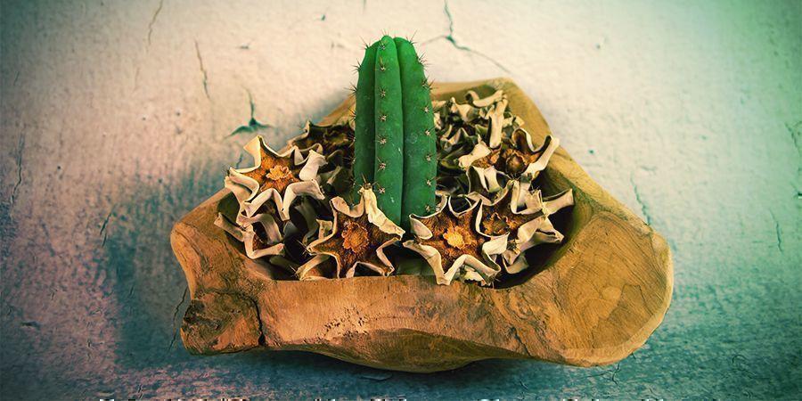 La Majorité Des Alcaloïdes De La Mescaline Se Trouvent Dans La Peau Externe Du Cactus