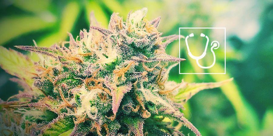 L'accès Au Cannabis Médical Est-il Un Droit De L'homme ?