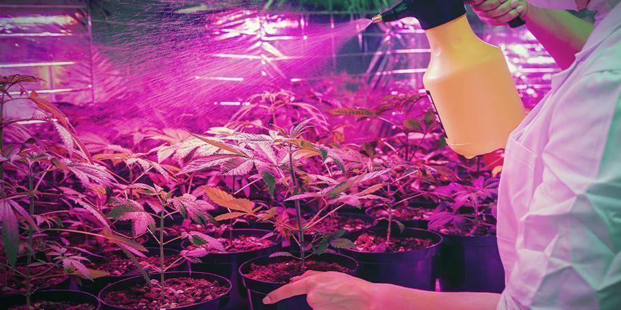 La Culture Du Cannabis N'Est Pas Toujours Propre