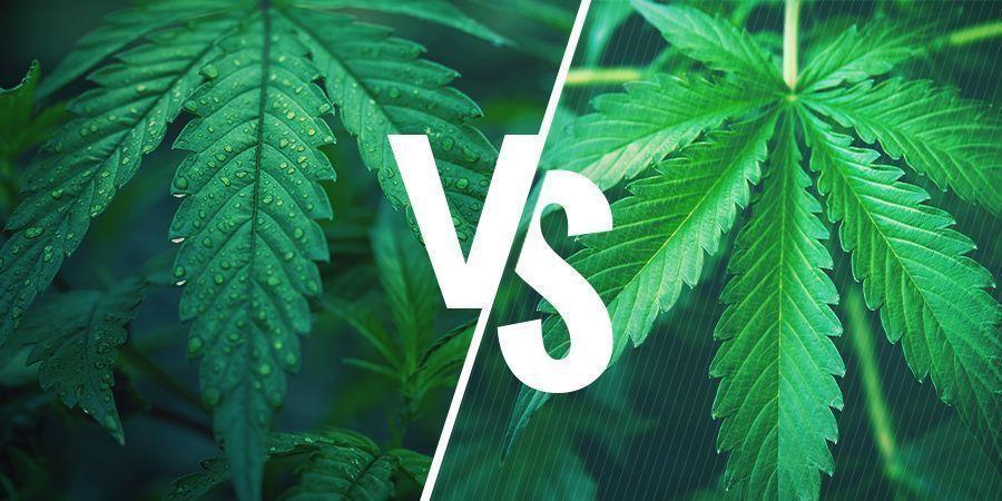 Indica Ou Sativa — Choisir La Bonne Variété Pour Vos Aliments Au Cannabis