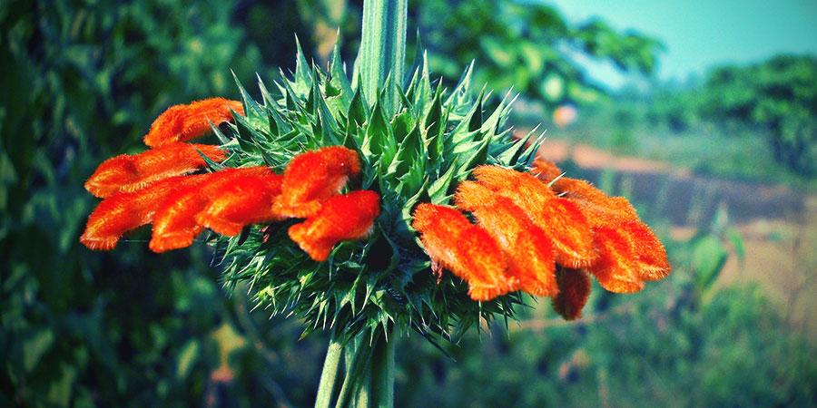 Wild Dagga Fleur