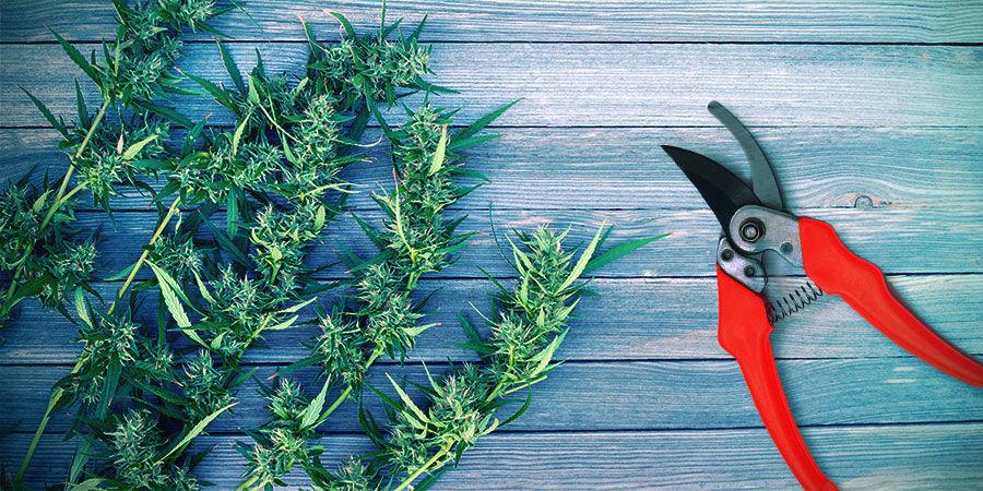 Récolte Cannabis