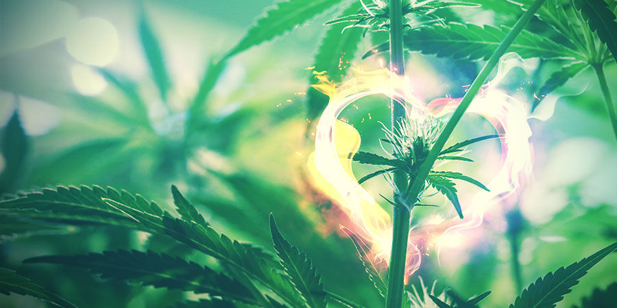 Espace De Culture Du Cannabis : Faites Bien Le Ménage