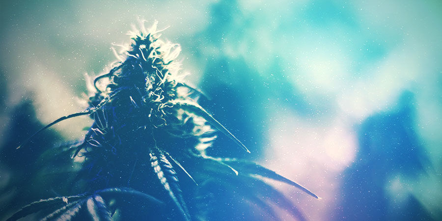 Cultivez La Bonne Variété Pour Votre Espace De Culture Du Cannabis