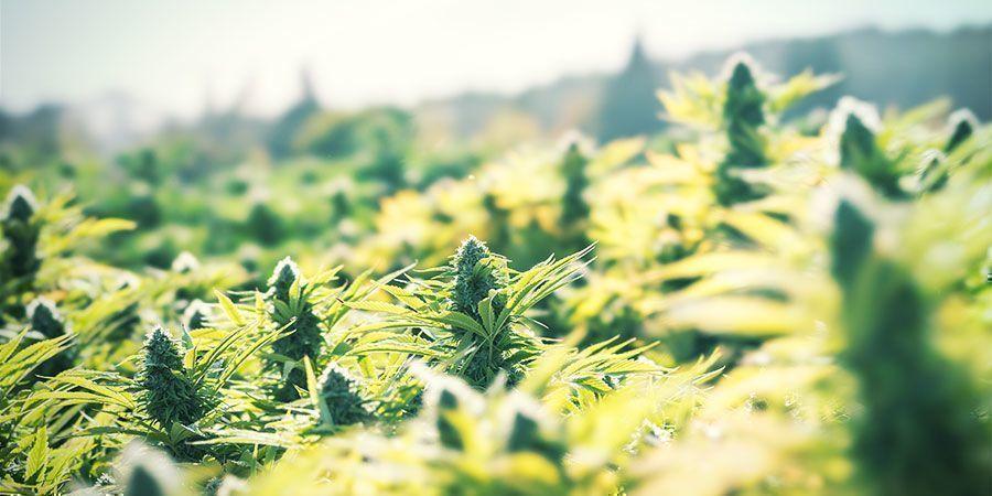 Cultivez Du Cannabis En Extérieur Pour Une Manière Simple d'Économiser De l'Argent