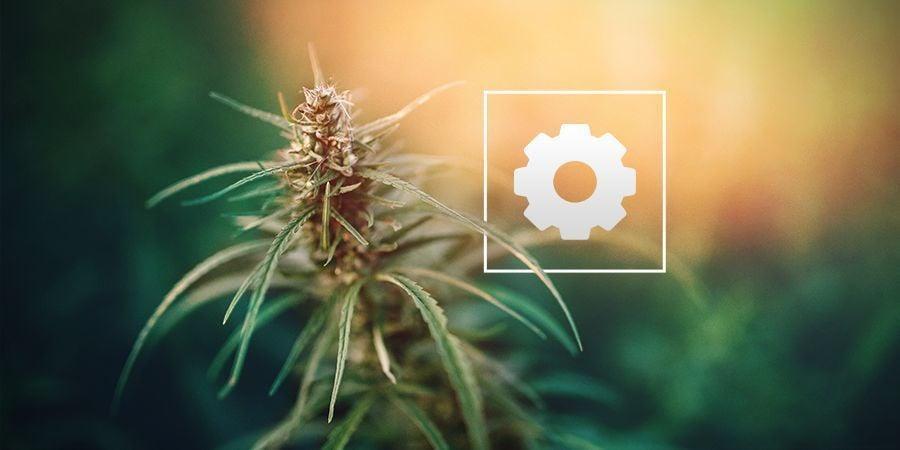 De Quelle Quantité De Lumière Les Plantes De Cannabis Autofleurissantes Ont-elles Besoin ?