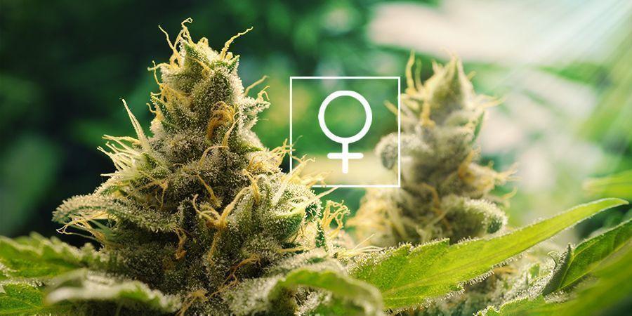 De Quelle Quantité De Lumière Les Plantes De Cannabis Féminisées Ont-elles Besoin ?