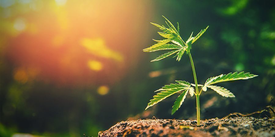 TROP DE SOLEIL Cannabis