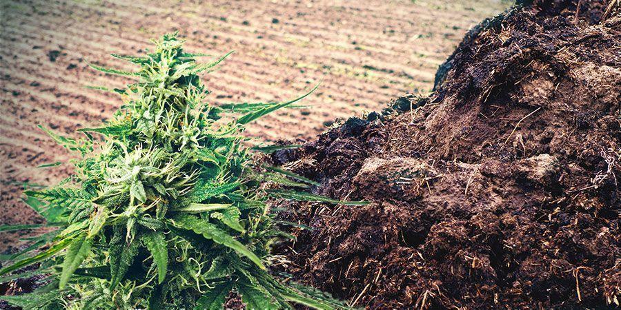 Fumier Ou Urine Engrais Cannabis