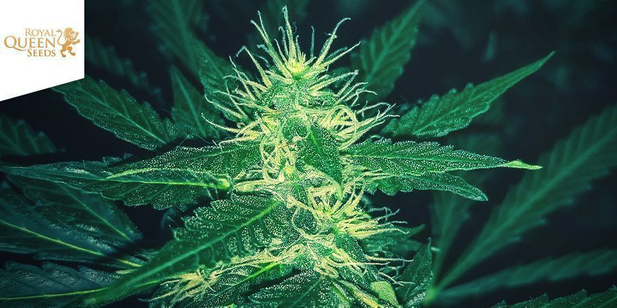 Quick One (Royal Queen Seeds)