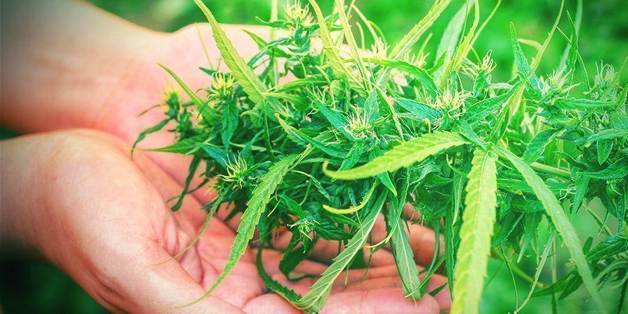 Pourquoi La Récolte Est Une Étape Cruciale De La Culture Du Cannabis ?