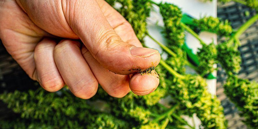 Quelles Sont Les Variétés De Cannabis Pour Préparer Du Jelly Hash ?