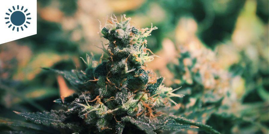 Les Meilleures Variétés De Cannabis À Cultiver Dans Un Climat Méditerranéen