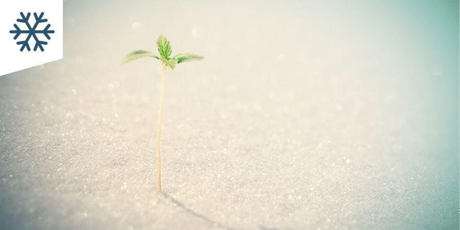 Cultiver Du Cannabis Dans Un Climat Froid