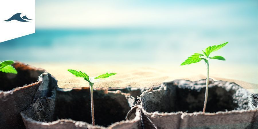 Cultiver Du Cannabis Dans Un Climat Océanique