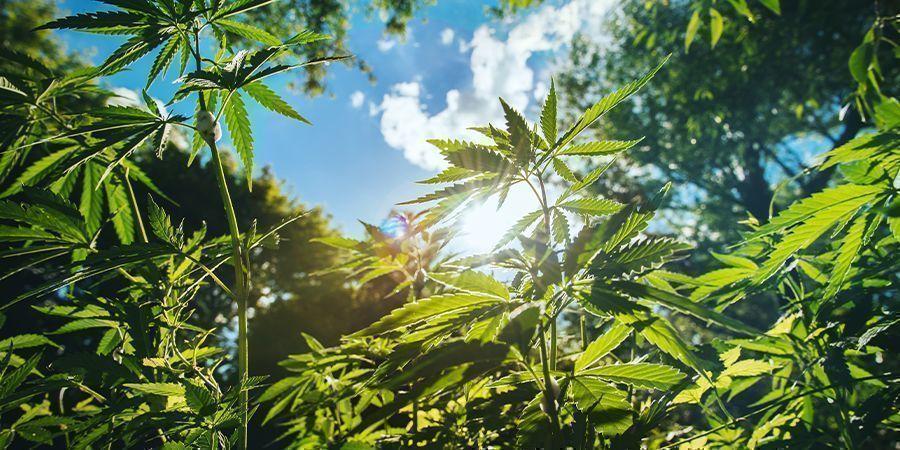 Autres Conseils Pour Cultiver Des Plants De Cannabis De Grande Taille