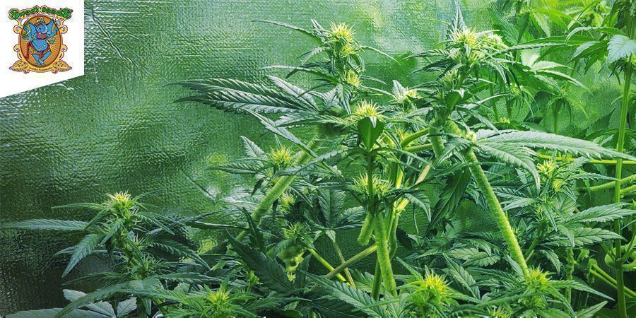 SWEET CHEESE AUTOMATIC (SWEET SEEDS)