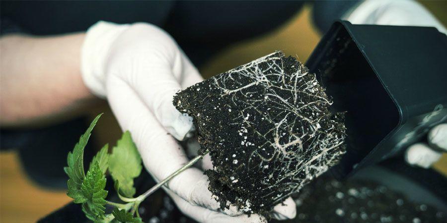 Air Pruning - Cultiver Du Cannabis