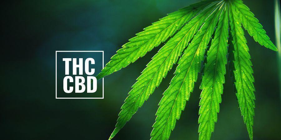 Les Plants De Cannabis À Photopériode Riches En THC/CBD