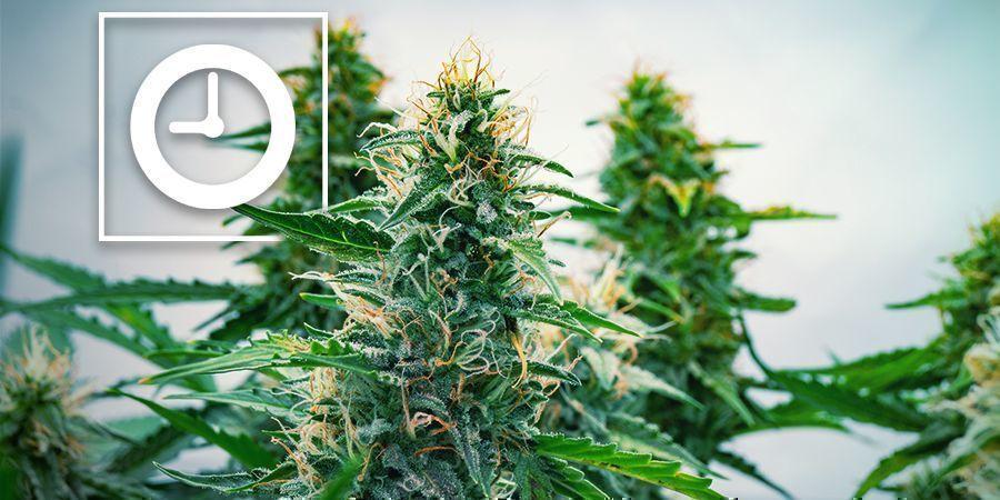 Comment Fonctionnent Les Plants De Cannabis À Autofloraison ?