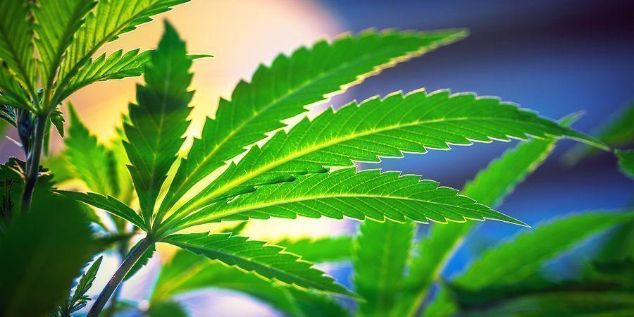 Pas Besoin De Changer Le Cycle Lumineux - Variétés De Cannabis À Autofloraison