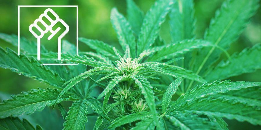 Des Génétiques Résistantes - Variétés De Cannabis À Autofloraison