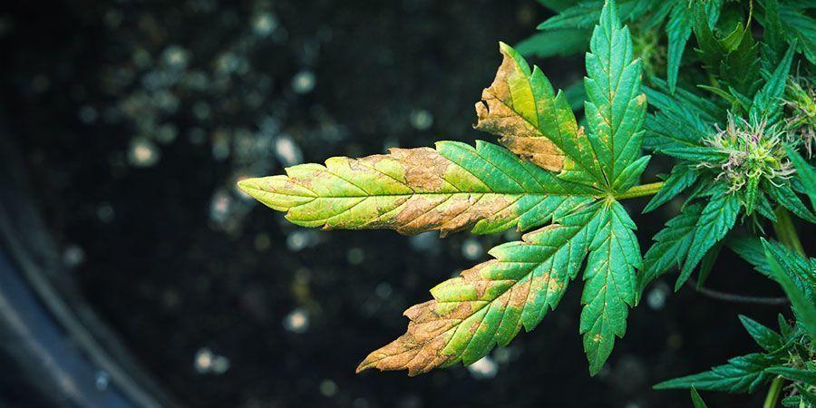 Plant De Cannabis Infesté Par Le Puceron Des Racines : Les Symptômes