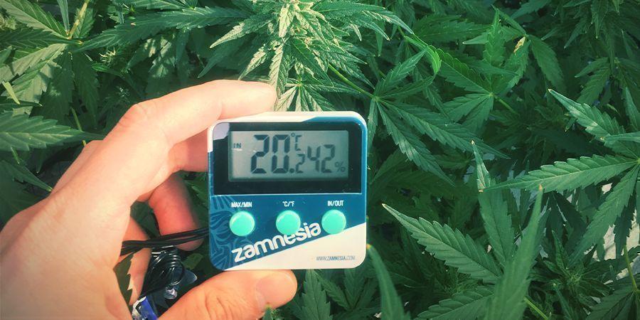 Niveaux D'humidité Optimaux Pour Les Plants De Cannabis